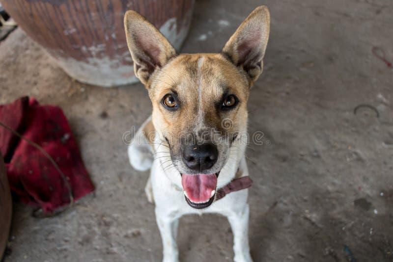 特写镜头逗人喜爱的狗坐伸出舌头的肮脏的粗砺的具体地面小狗与发光的明亮的眼睛和尖的耳朵- 免版税库存照片