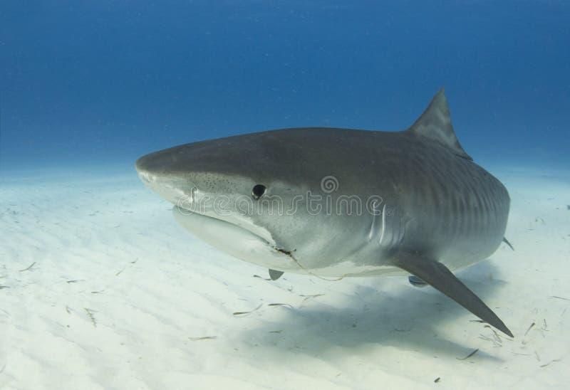 特写镜头配置文件鲨鱼老虎 免版税图库摄影