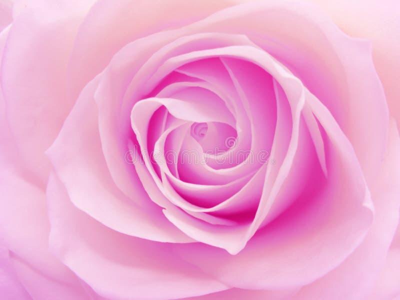 特写镜头重点粉红色上升了 库存照片