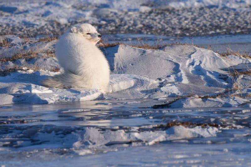 特写镜头野生生物白色极性狐狸冬天在北极斯瓦尔巴特群岛 免版税库存图片