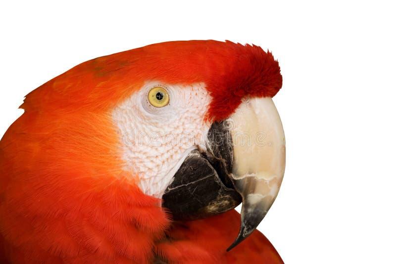 特写镜头金刚鹦鹉红色 免版税库存图片