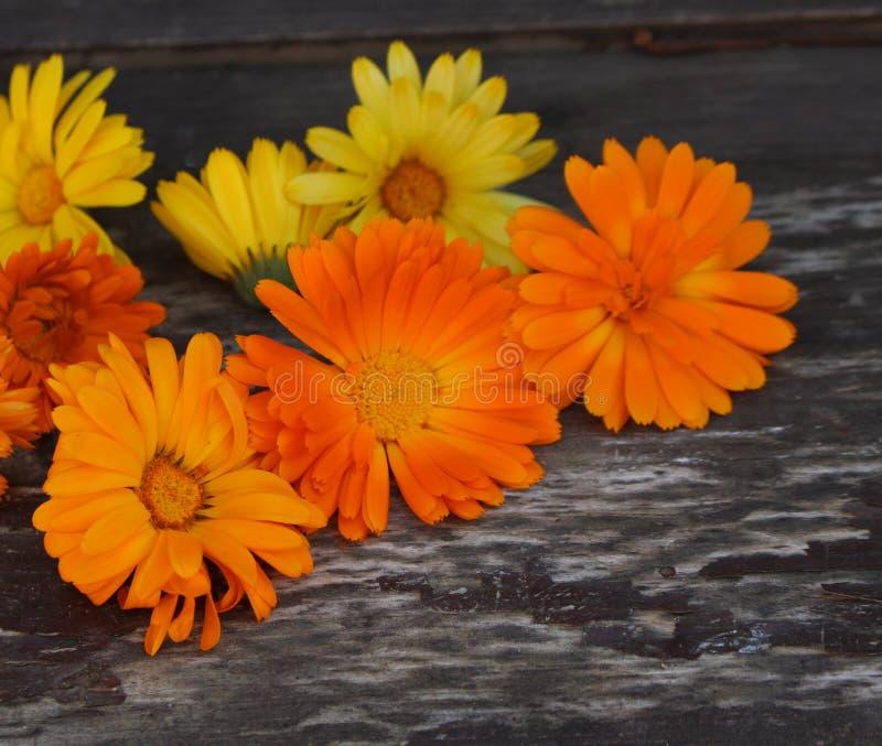 特写镜头金盏草officinalis,金盏菊,涂赭色,共同的万寿菊或刻痕万寿菊在木背景与空间 免版税库存图片
