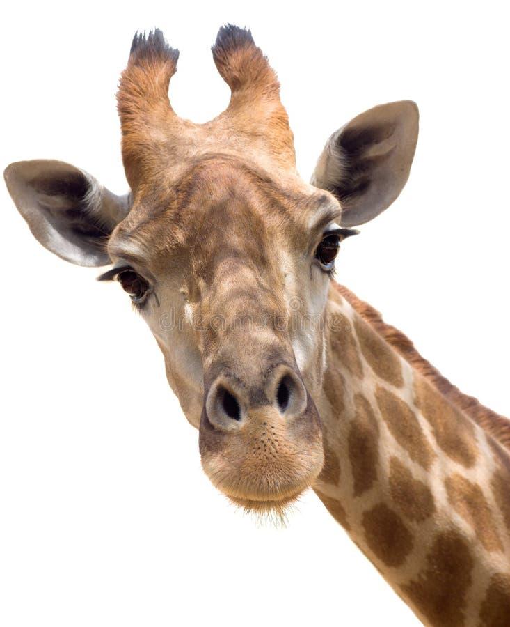 特写镜头长颈鹿 库存图片