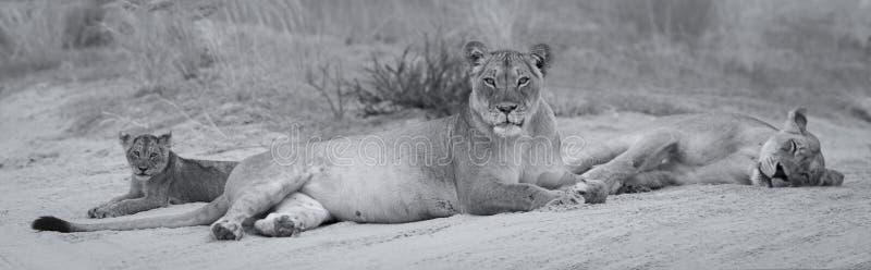 特写镜头雌狮和躺下的崽睡觉在软的卡拉哈里沙子艺术性的转换 库存照片