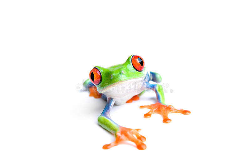 特写镜头青蛙查出的白色 免版税库存照片
