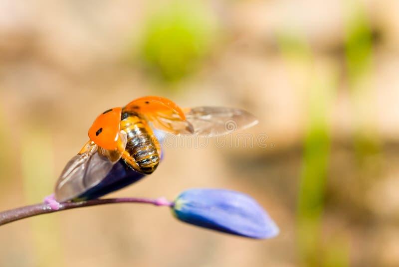特写镜头飞行瓢虫snowdrop起始时间 免版税库存照片
