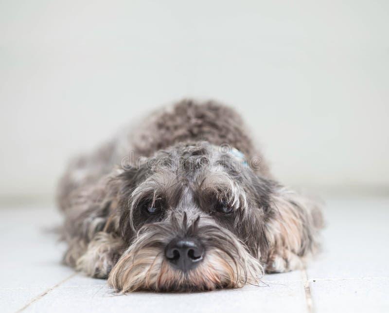 特写镜头髯狗狗在被弄脏的砖地和白水泥墙壁上说谎在房子视图背景前面与拷贝空间 免版税库存图片