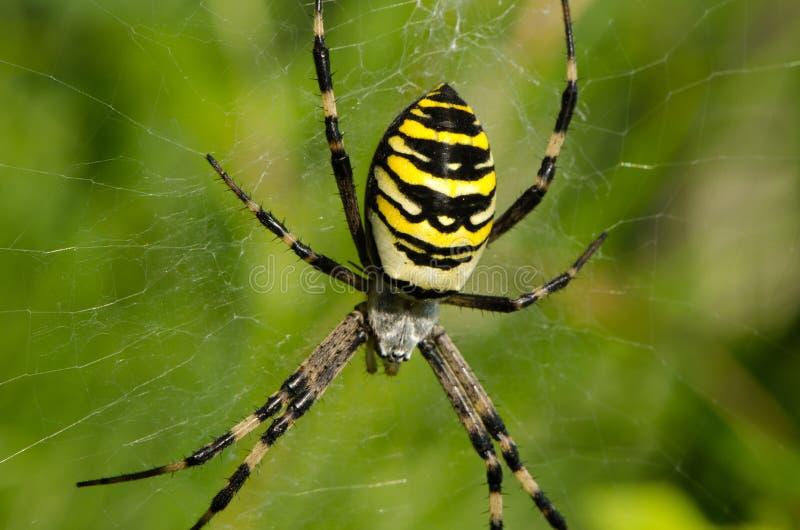 特写镜头黄蜂蜘蛛argiope bruennichi spiderweb 库存照片