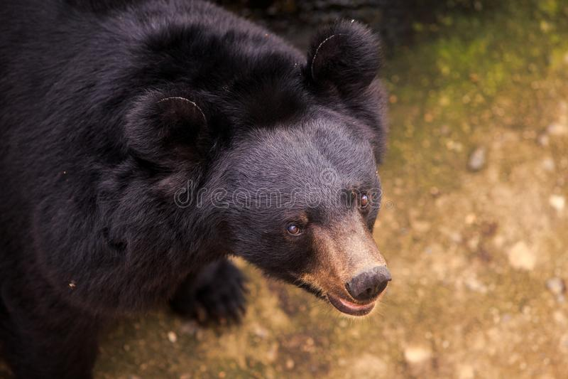 特写镜头黑熊头看访客在动物园里 库存图片