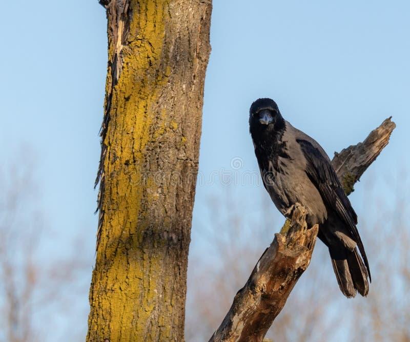 特写镜头黑色和棕色乌鸦在树 库存照片