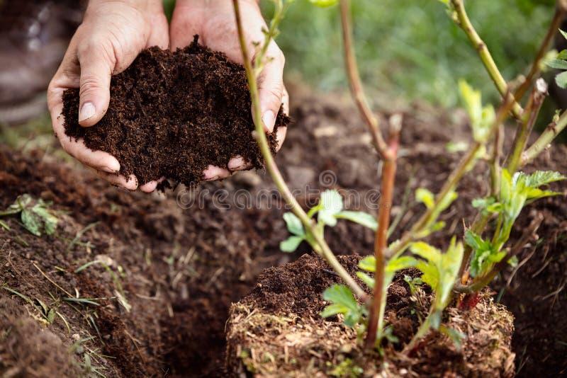 特写镜头,拿着土壤或腐土,黑莓植物的男性手此外 库存照片