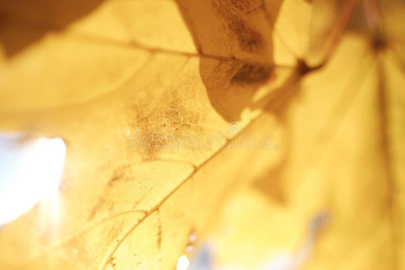 特写镜头,秋天黄色枫叶宏观射击  免版税图库摄影