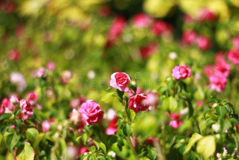 特写镜头,红色秋海棠花在非常美丽的庭院里开花那么 免版税库存照片