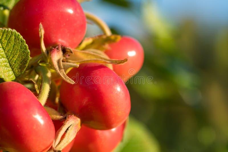 特写镜头,红色野生玫瑰色莓果 免版税库存图片