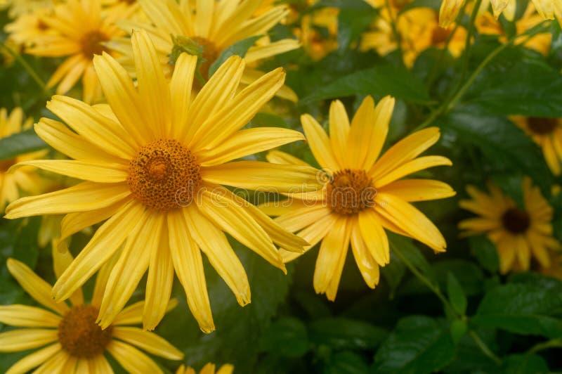 特写镜头 大黄色雏菊 大黄色花 库存照片