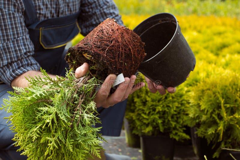 特写镜头 小幼木根系统在庭院市场上 免版税库存照片