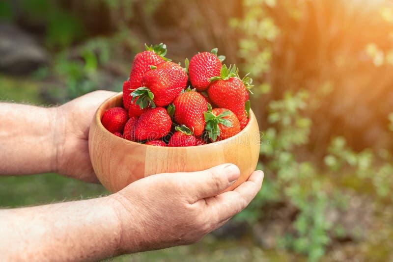 特写镜头farmer';拿着和提供红色鲜美成熟有机水多的草莓的s手在木碗户外在农场 免版税库存图片