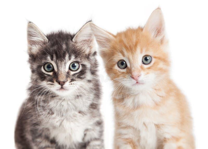 特写镜头两逗人喜爱的平纹小猫 免版税库存图片