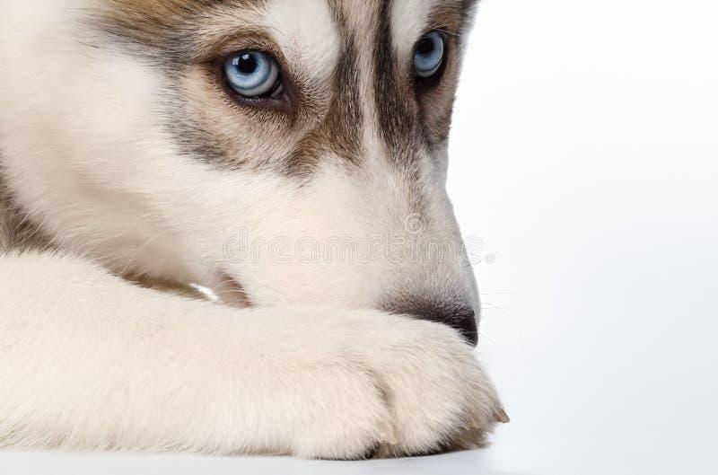 特写镜头在白色的西伯利亚爱斯基摩人小狗 免版税库存图片