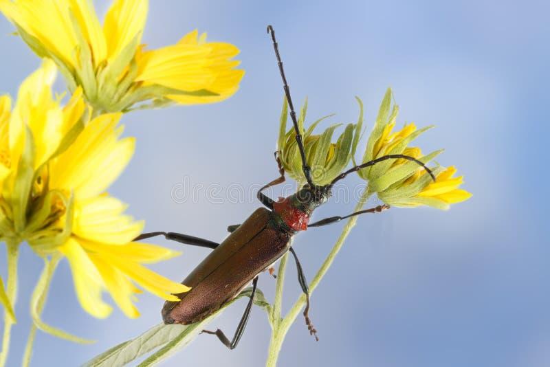 特写镜头在黄色花的长角牛甲虫反对蓝天 库存图片