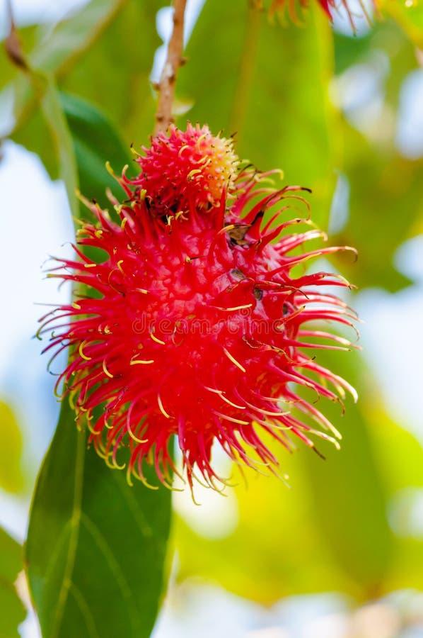 特写镜头射击了在树的一个红毛丹热带水果 免版税库存图片
