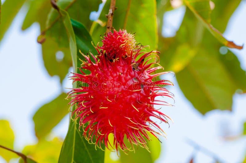特写镜头射击了在树的一个红毛丹热带水果 库存图片
