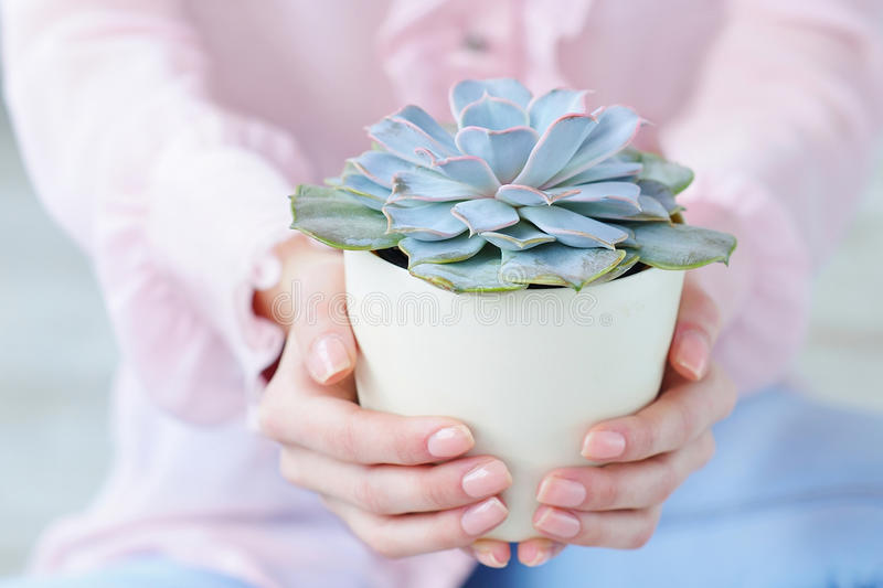 特写镜头拿着多汁植物的妇女手 免版税图库摄影