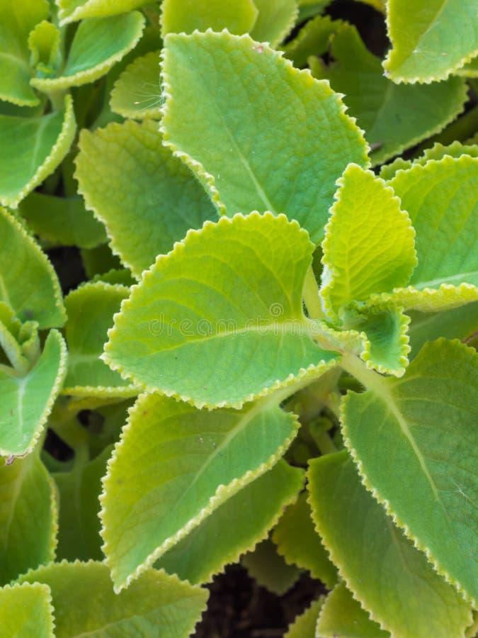 特写镜头新鲜的绿色草本叫Indian琉璃苣(Plectranthus读经台 库存照片