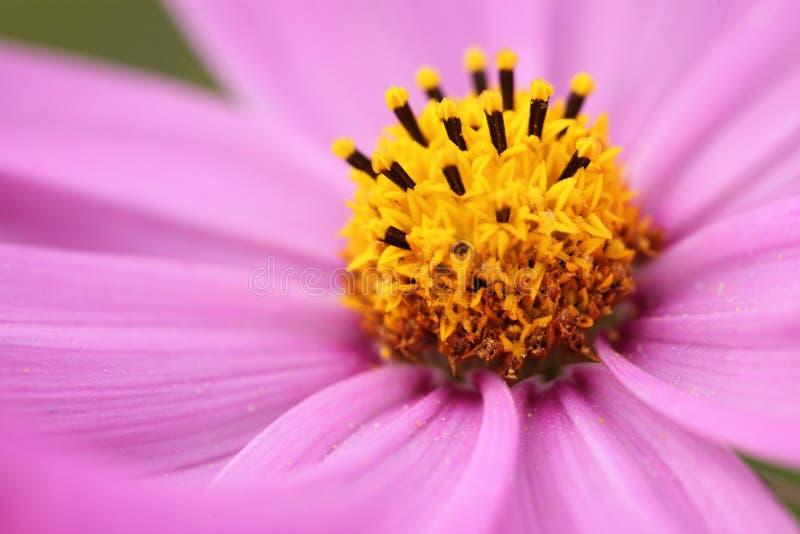 特写镜头桃红色雏菊和迷离绿色背景 图库摄影