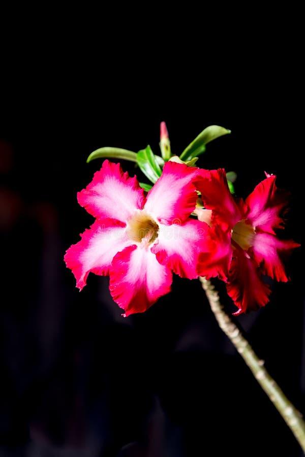 特写镜头桃红色Bigononia或沙漠座莲(热带花) bl的 库存照片