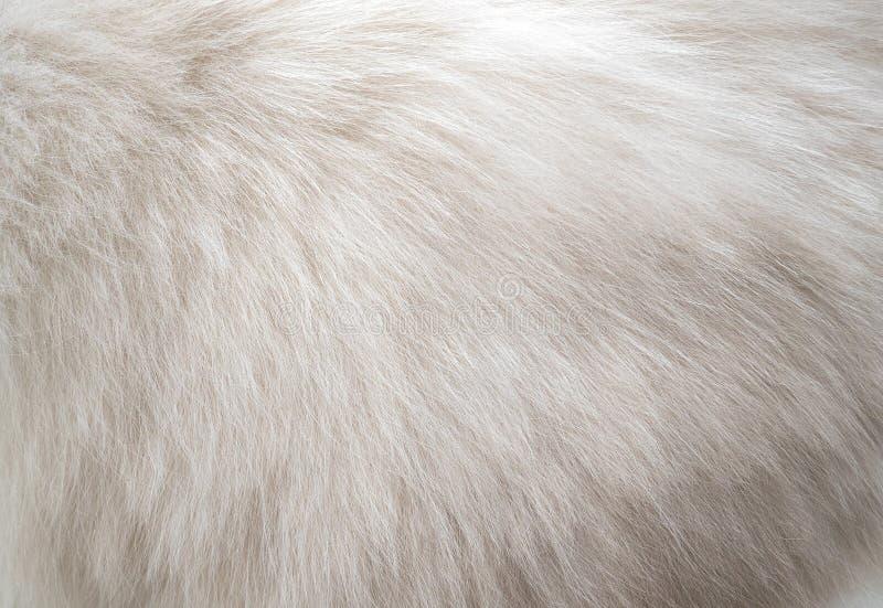 特写镜头白色波斯猫毛皮纹理背景 免版税图库摄影