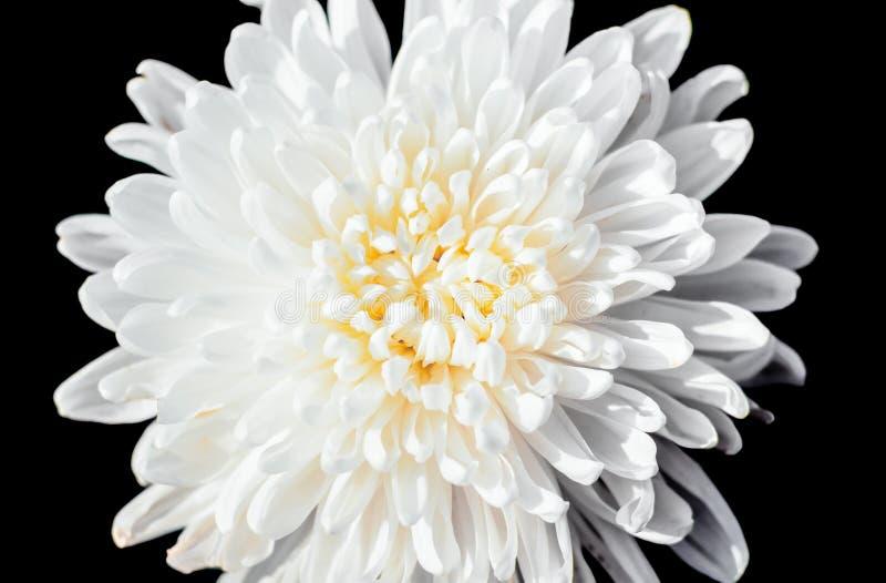 特写镜头白色菊花黑色的花粉隔绝了backgroun 库存图片