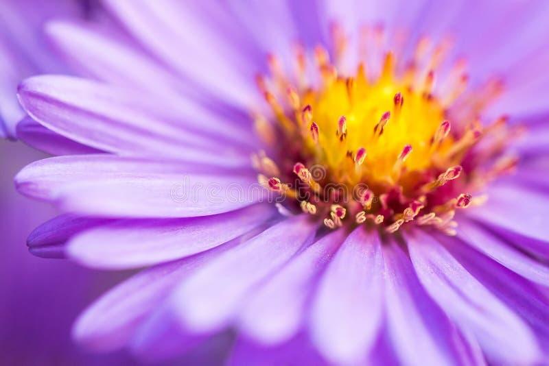 特写镜头紫罗兰色翠菊花背景 免版税库存图片