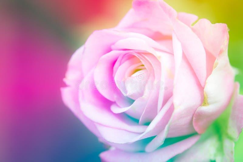 特写镜头美丽的宏观桃红色玫瑰 免版税库存照片