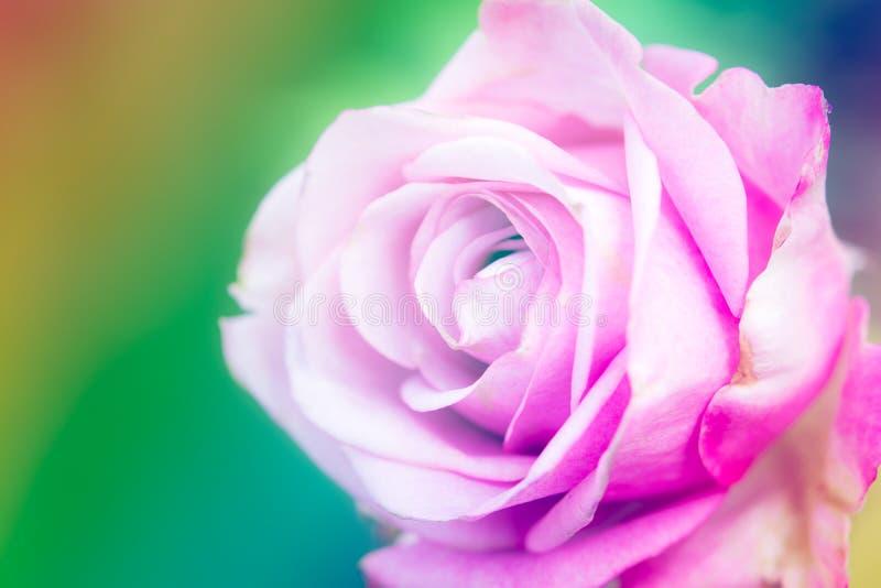 特写镜头美丽的宏观桃红色玫瑰 库存图片