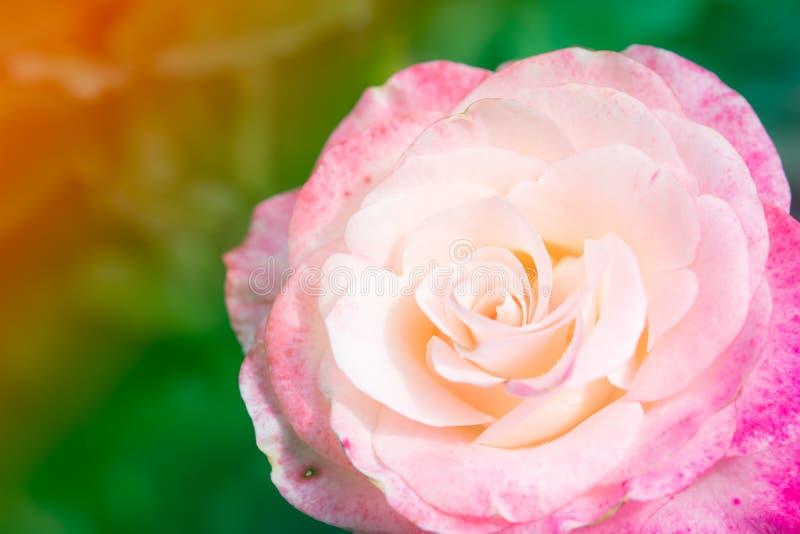 特写镜头美丽的宏观桃红色玫瑰 免版税库存图片