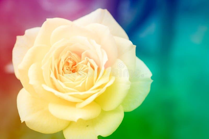 特写镜头美丽的宏观黄色玫瑰 库存图片