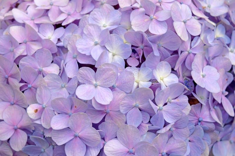 特写镜头美好的花卉背景紫色八仙花属花 图库摄影