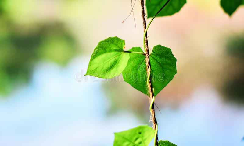 特写镜头绿色叶子自然视图在庭院里在阳光下的夏天 使用作为背景或墙壁,自然绿色植物环境美化 库存照片