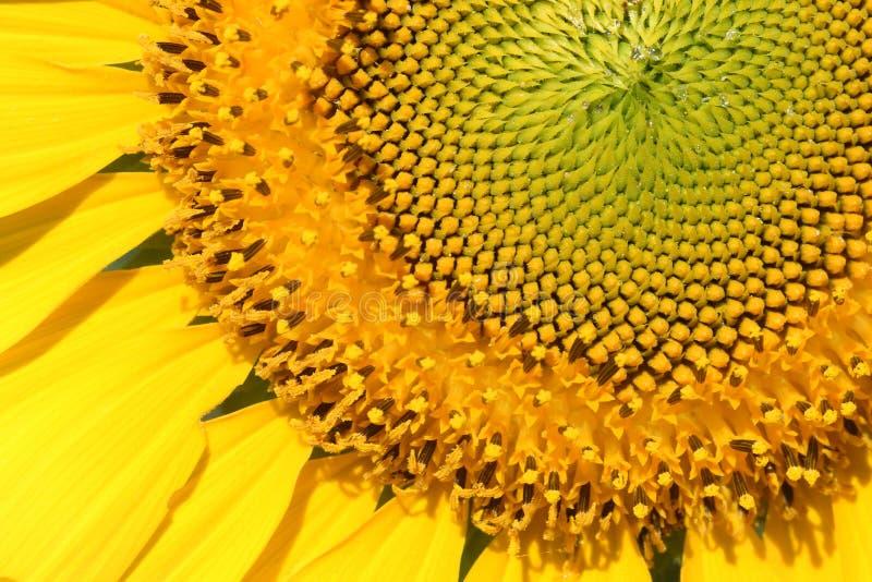 特写镜头黄色向日葵花粉 免版税库存照片