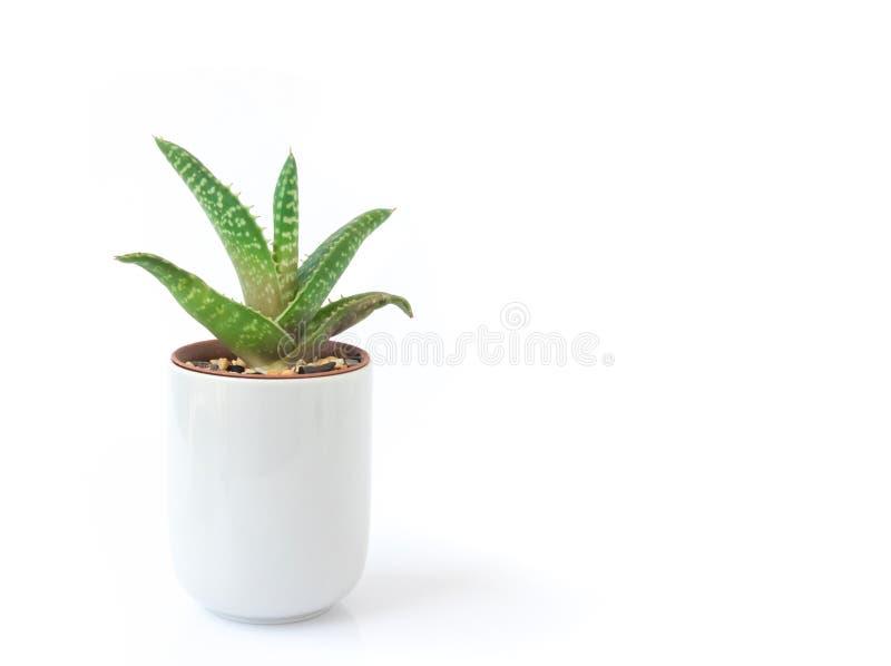 特写镜头芦荟罐的维拉植物在白色背景 免版税图库摄影