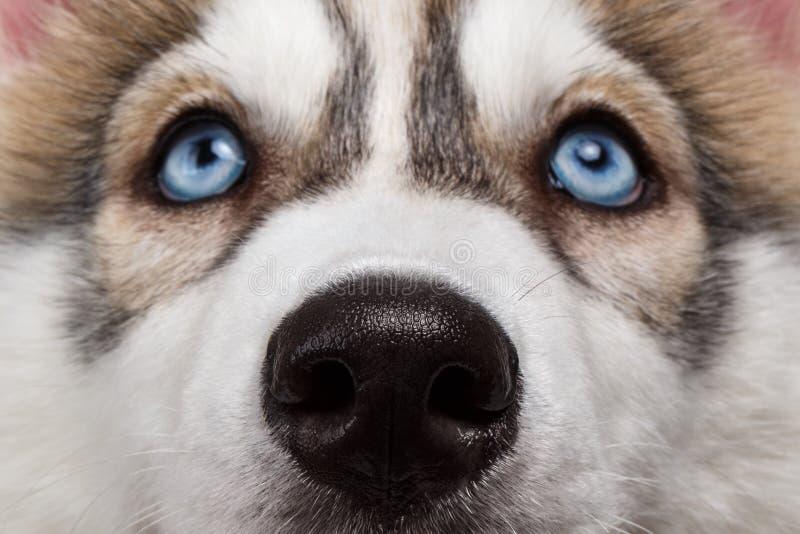 特写镜头蓝眼睛西伯利亚爱斯基摩人小狗图片