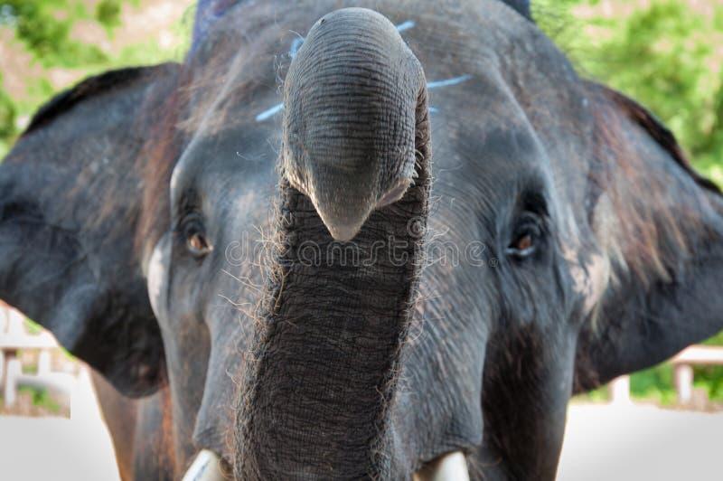 特写镜头被射击亚洲大象头 库存照片