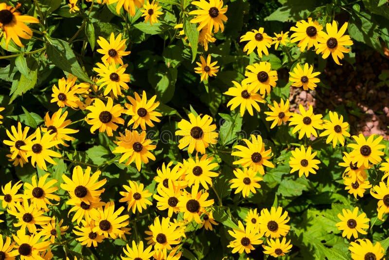 特写镜头视图黄色goldsturm从上面开花开花在庭院里在日落 库存图片