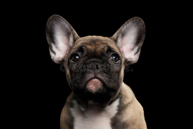 特写镜头画象法国牛头犬小狗,逗人喜爱看在照相机,被隔绝 免版税库存图片