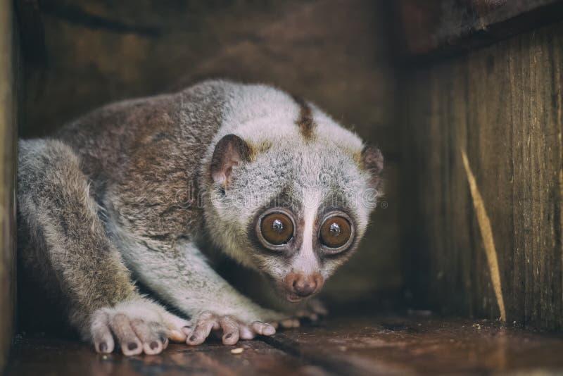 特写镜头野生慢loris猴子 免版税库存图片
