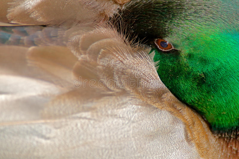特写镜头野鸭暗藏的细节画象  在草掩藏的鸟 水禽野鸭,语录platyrhynchos,与在t的反射 免版税图库摄影