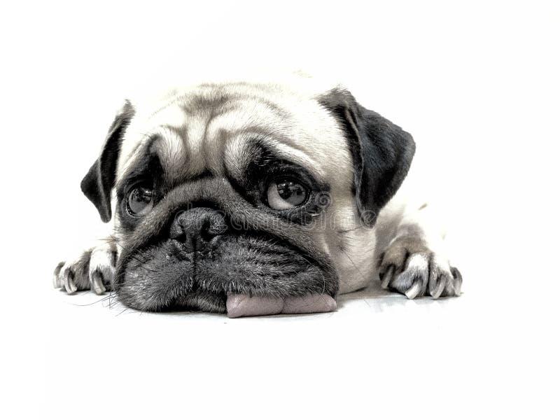 特写镜头面孔逗人喜爱的哈巴狗小狗铅笔剪影睡觉由下巴的和舌头在地板上放下 免版税库存照片