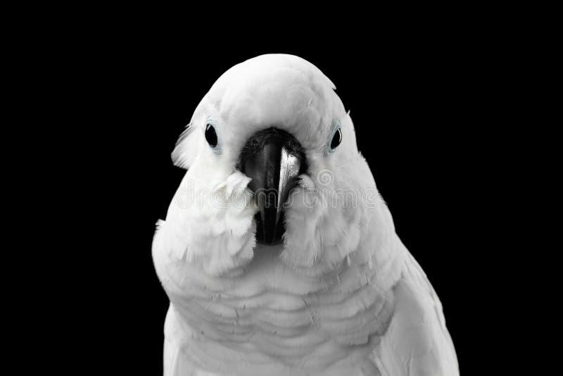 特写镜头顶饰晨曲的美冠鹦鹉,伞,印度尼西亚,隔绝在黑背景 免版税库存图片