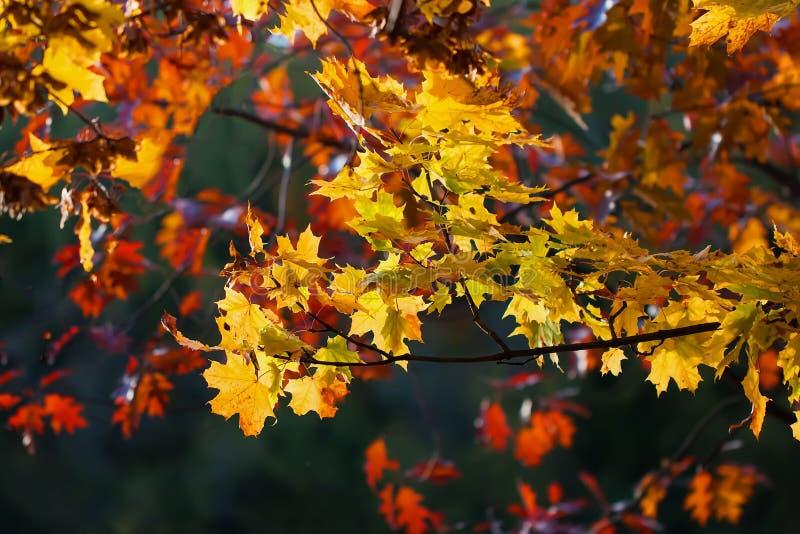 特写镜头风景槭树,在黑暗的背景的橡木美好的生动的五颜六色的秋天分支  秋天来了,真正 库存照片